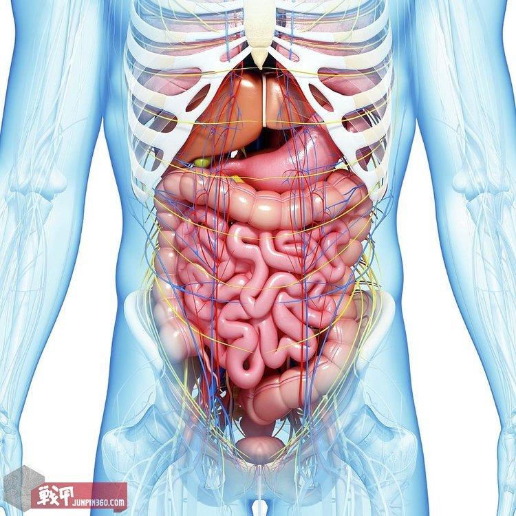 1.人体腹部脏器位置解剖图.jpg